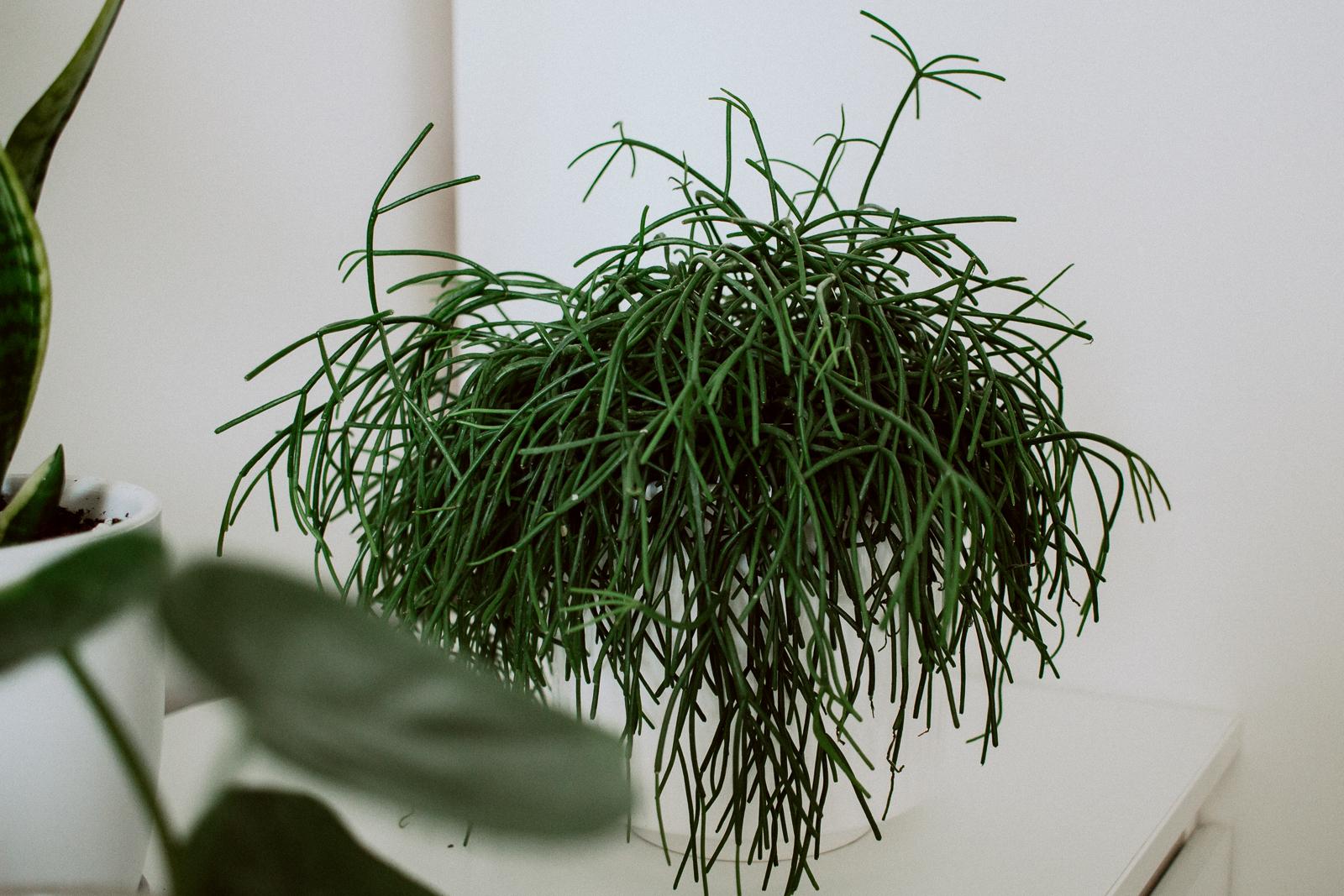Rhipsalis - patyczak